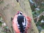 Woodpecker2